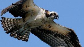 Osprey Nest Of Kent County