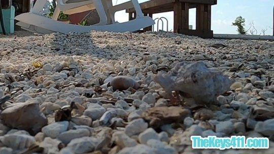 Hermit Crab Stroll